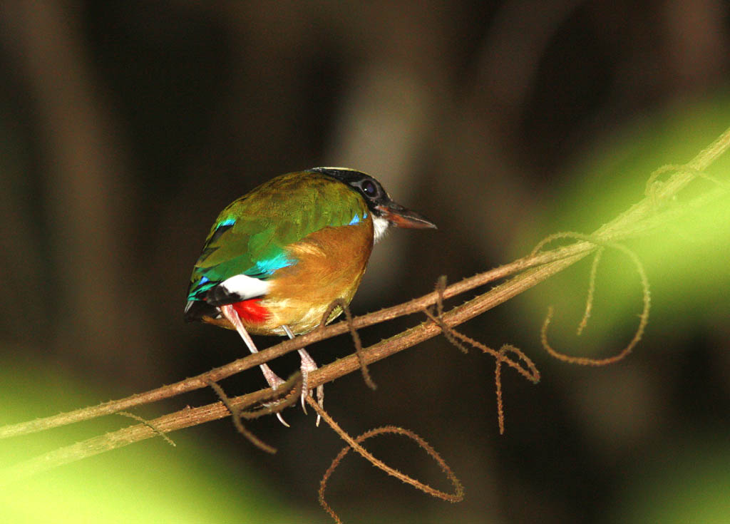 06410藍翅八色鶇Blue winged Pitta Pitta moluccensis1.jpg