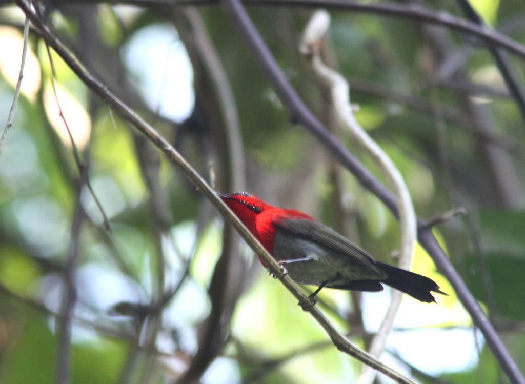07401黃腰太陽鳥Crimson Sunbird Aethopyga siparaja.jpg
