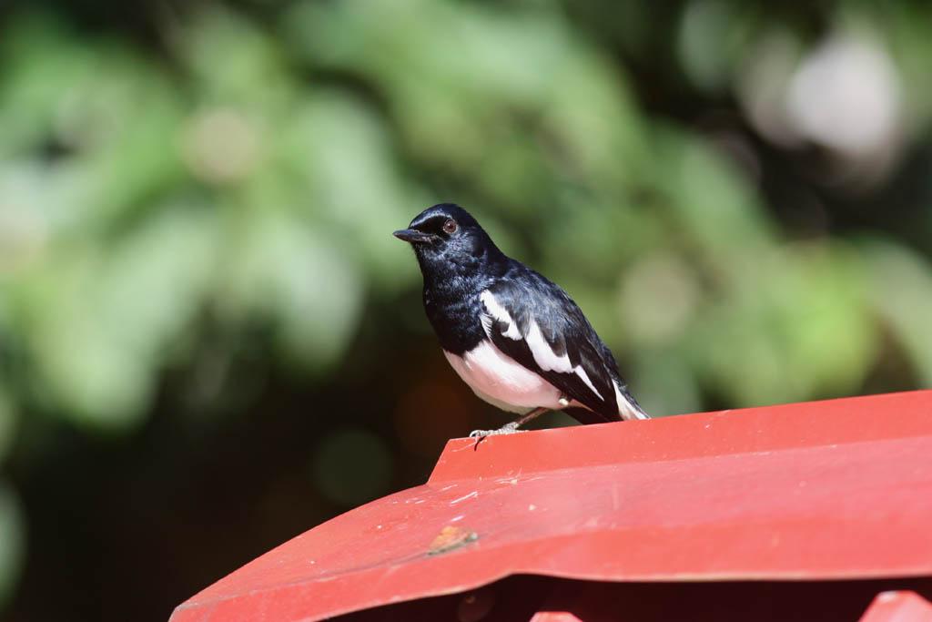 09110鵲鴝Oriental Magpie Robin Copsychus saularis.jpg