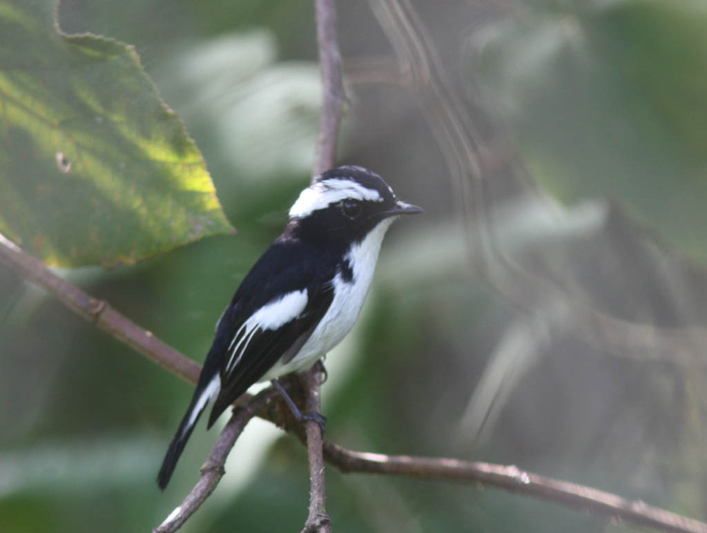 09608小斑姬鶲Little Pied Flycatcher Ficedula westermanni.jpg