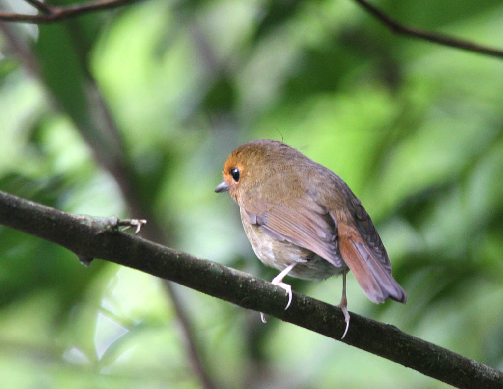 09707棕眉姬鶲Rufous browed Flycatcher Ficedula solitaris1.jpg