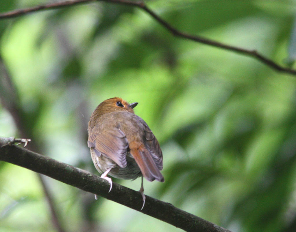 09707棕眉姬鶲Rufous browed Flycatcher Ficedula solitaris2.jpg