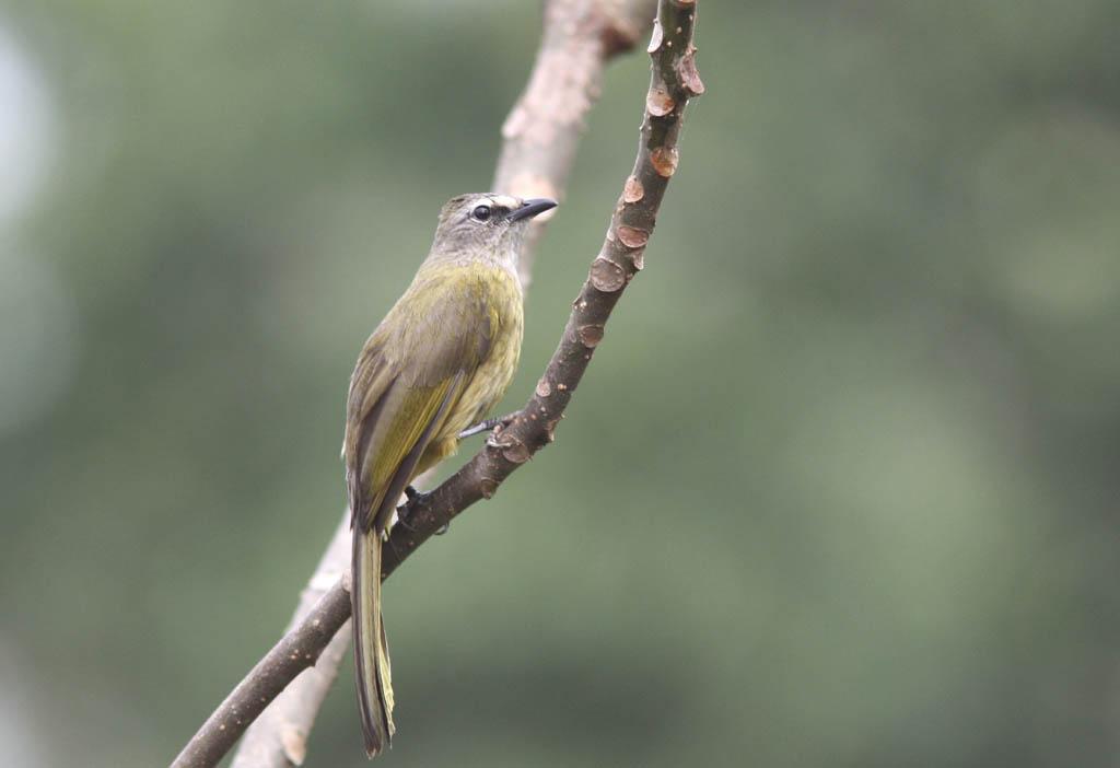 10107黃綠鵯Flavescent Bulbul Pycnonotus flavescens1.jpg