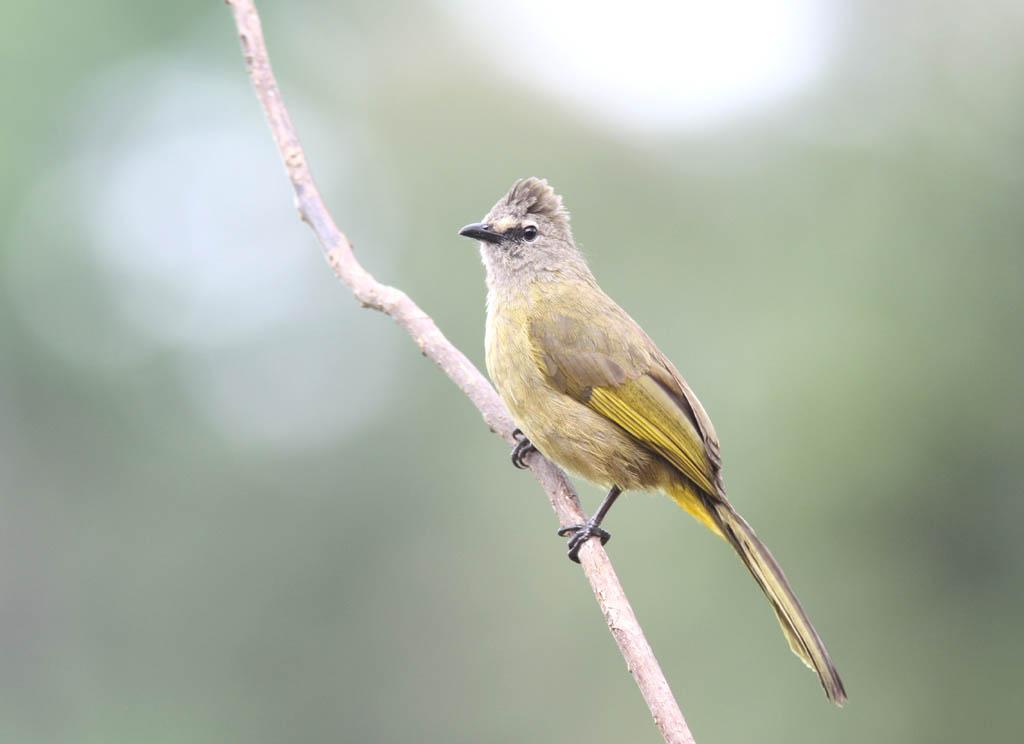 10107黃綠鵯Flavescent Bulbul Pycnonotus flavescens2.jpg