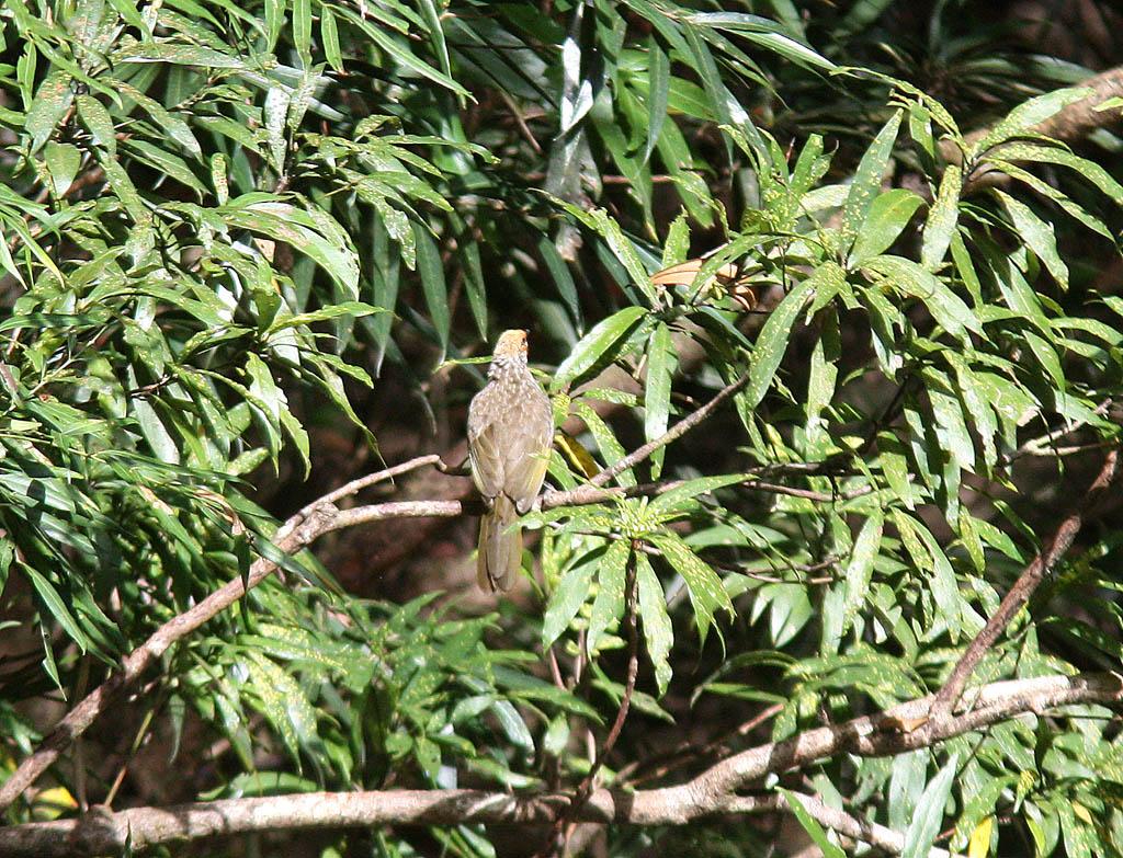 10201黃冠鵯Straw-headed Bulbul Pycnonotus zeylanicus.jpg