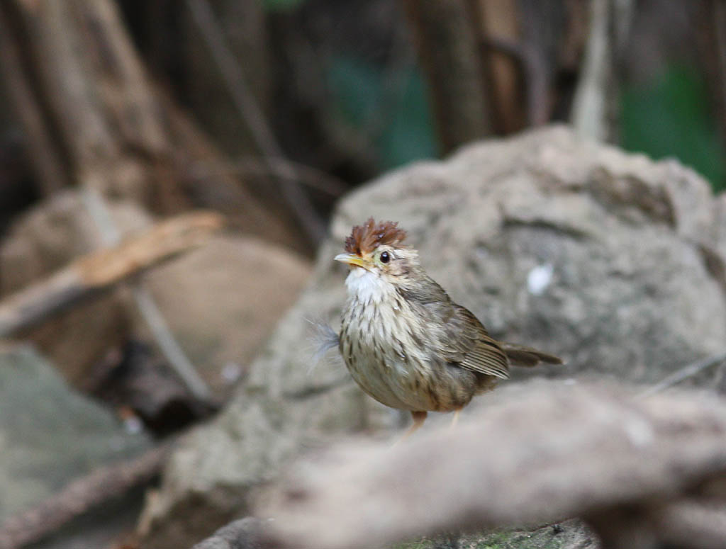 11303棕頭幽鶥Puff throated Babbler Pellornium ruficeps.jpg