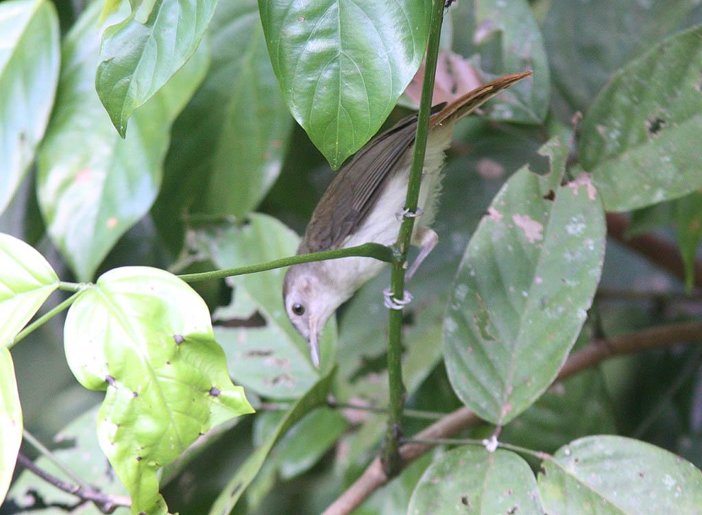 11306純色樹鶥Sooty capped Babbler Malacopteron affine1.jpg