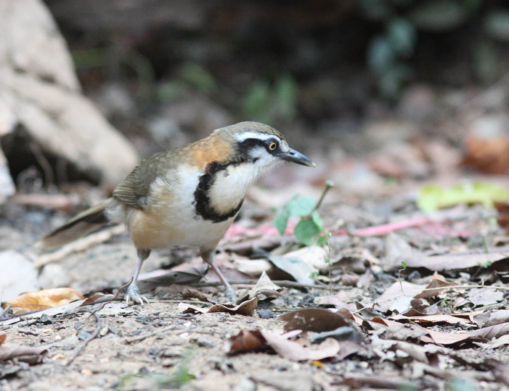 11514小黑領噪鶥Lesser Necklaced Laughingthrush Garrulax monileger1.jpg