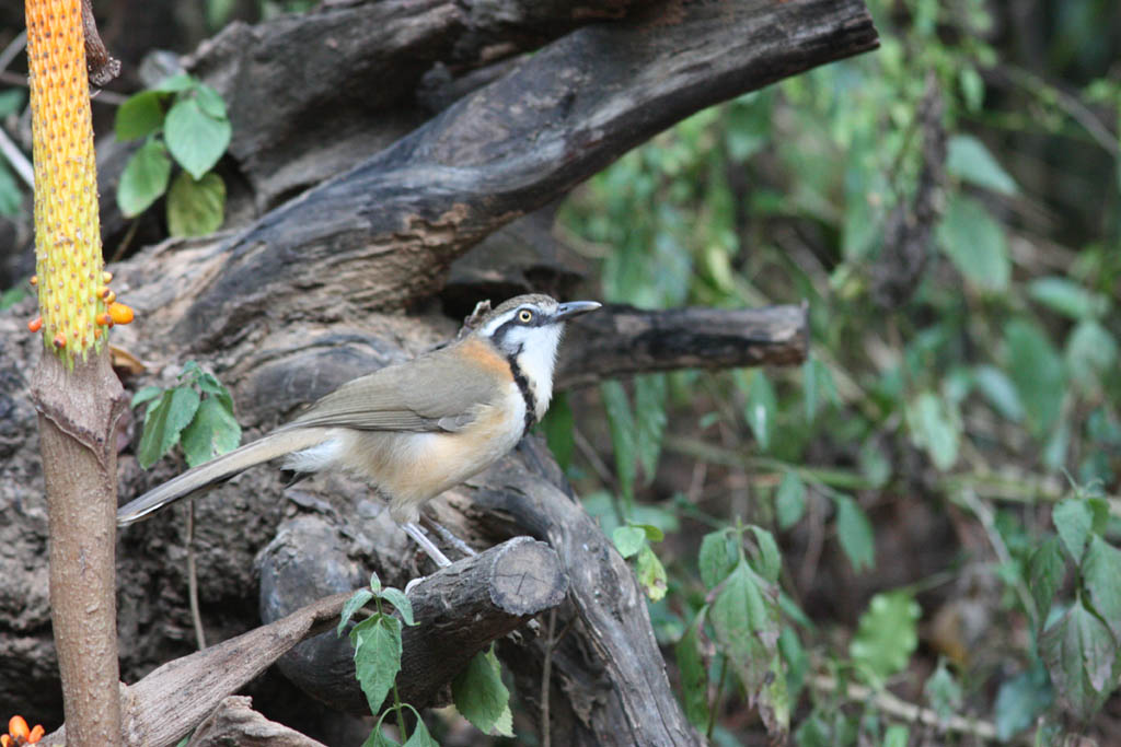 11514小黑領噪鶥Lesser Necklaced Laughingthrush Garrulax monileger2.jpg