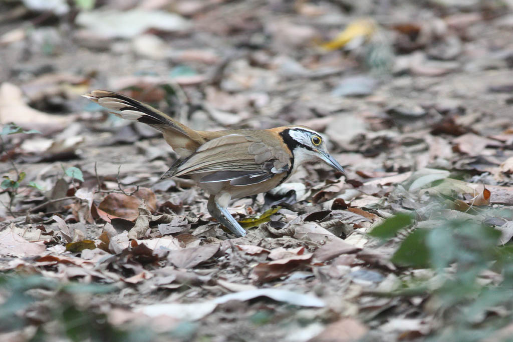 11515大黑領噪鶥Greater Necklaced Laughingthrush Garrulax pectoralis1.jpg