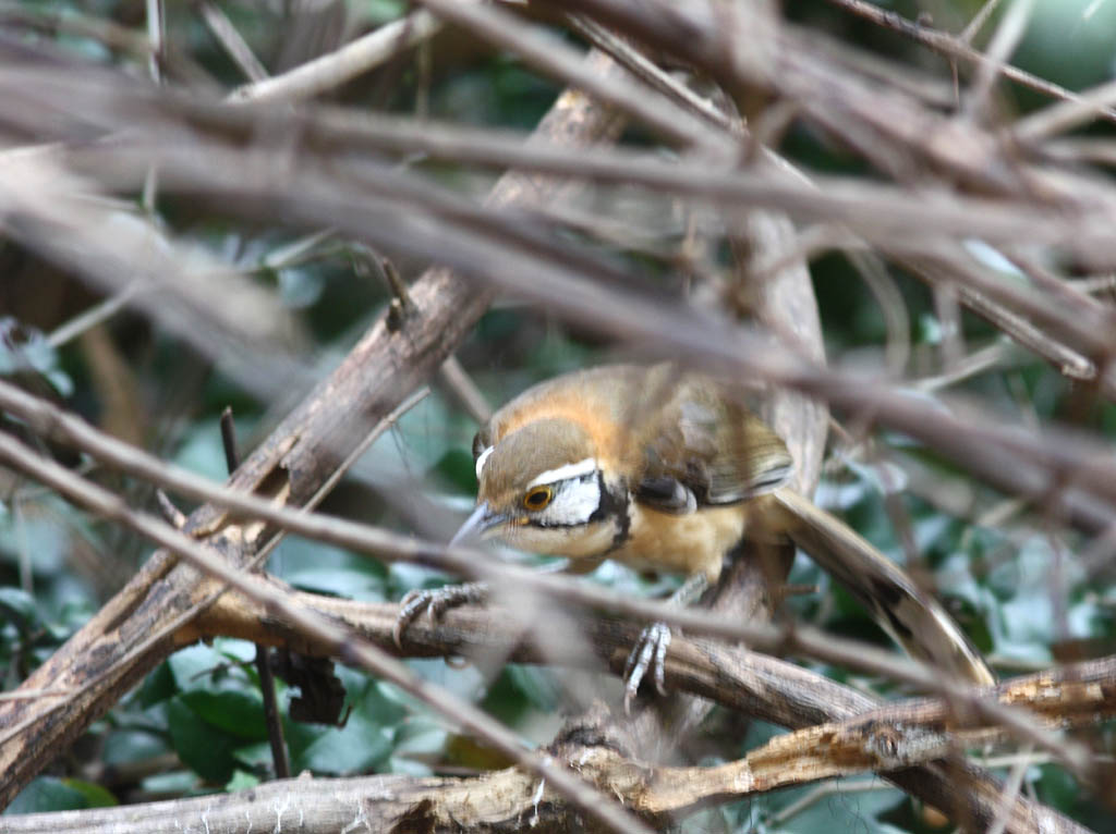 11515大黑領噪鶥Greater Necklaced Laughingthrush Garrulax pectoralis3.jpg
