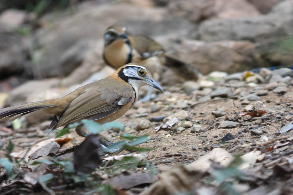 11515大黑領噪鶥Greater Necklaced Laughingthrush Garrulax pectoralis4.jpg
