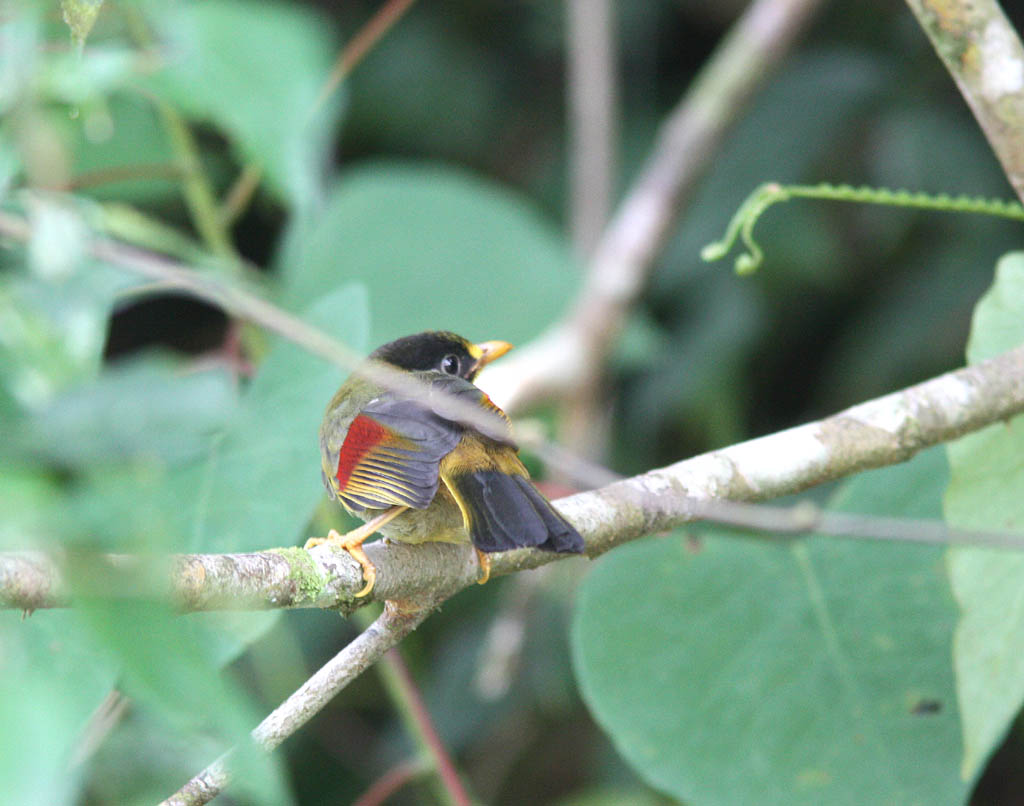 11710銀耳相思鳥Silver eared Mesia Lieothrix argentauris1.jpg