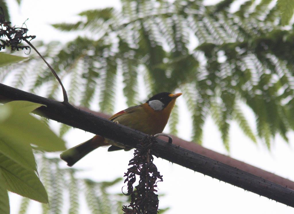 11710銀耳相思鳥Silver eared Mesia Lieothrix argentauris2.jpg