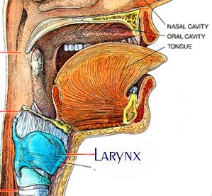 喉頭(Larynx)