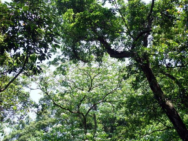 踏上步道20分鐘後,終於看到第一顆桐花樹。