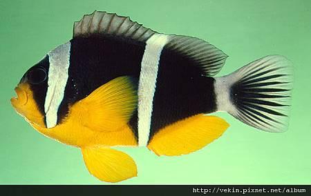 Amphiprion fuscocaudatus01.jpg