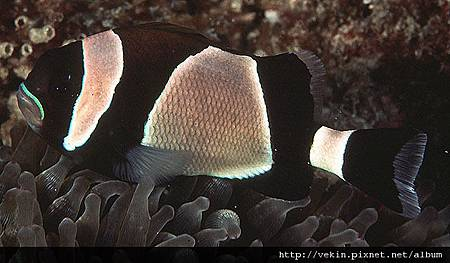 Amphiprion latezonatus001.jpg