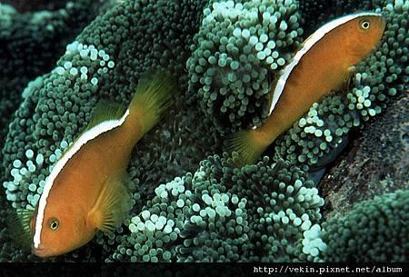 Amphiprion sandaracinos002.jpg