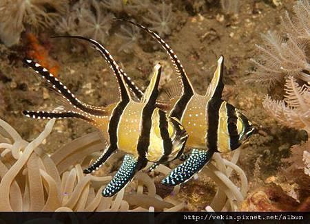 Pterapogon kauderni001.jpg