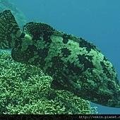 Epinephelus fuscoguttatus003