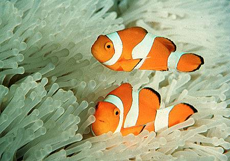 Amphiprion ocellaris001.jpg