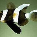 Amphiprion clarkii004.jpg