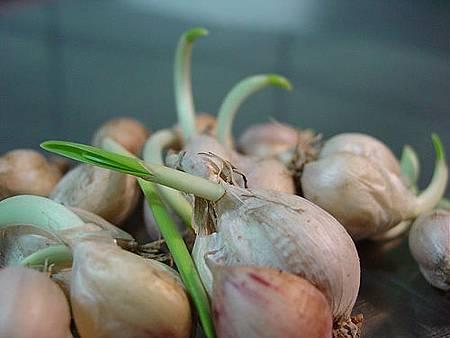 發芽蒜頭更能抗氧化