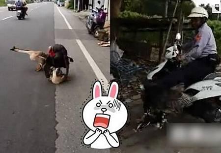 火雞強上母鵝-公火雞當街強上母鵝,公鵝呼救警方出手