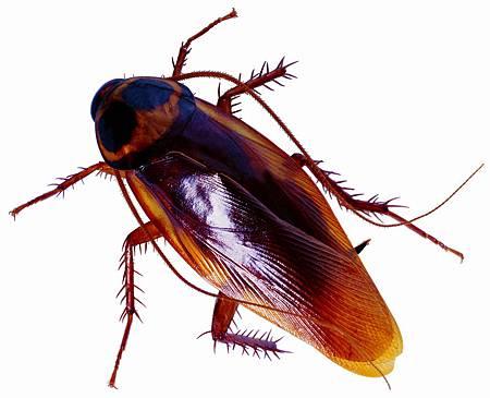 3種天然消除蟑螂方法,快收藏起來吧!