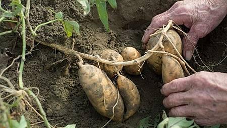 破除謠言!地瓜發芽、長黑斑真的還能吃嗎?