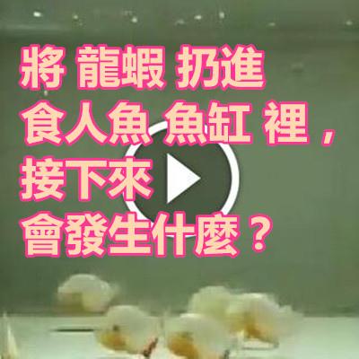 將 龍蝦 扔進 食人魚 魚缸 裡,接下來會發生什麼?.jpg