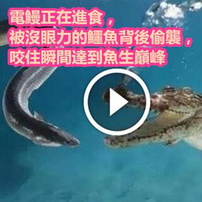 電鰻正在進食,被沒眼力的鱷魚背後偷襲,咬住瞬間達到魚生巔峰.jpg