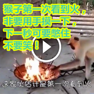 猴子第一次看到火,非要用手摸一下,下一秒可要憋住不要笑!.png