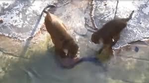 猴子經常欺負水獺,水獺的報復方式太殘忍,鏡頭記錄全過程.jpg