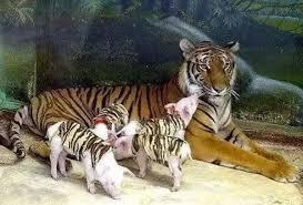 見識一下老虎生寶寶,全程被鏡頭記錄下來了!.jpg