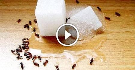 ❤ [影片分享] 家裡有螞蟻別用開水燙,教你個簡單妙招,螞蟻隔天就搬家,太實用了.jpeg