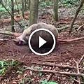 ♥ [影片分享] 獵人在森林裡親手示範捕捉兩百多斤的野豬技巧,實在太絕了。.jpeg
