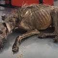 狗被被主人丟掉「餓成一幅骨架」男子好心帶回家收養,七周後狗狗大變模樣.jpg