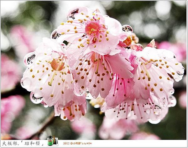 2012小司麥- 「昭和櫻」 (22)