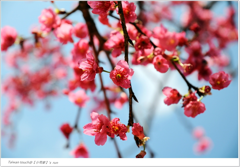 小司麥-緣道櫻花 (1)