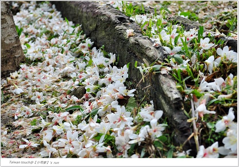 小司麥-油桐花 (7)
