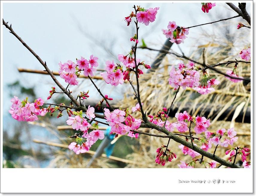 小司麥-陽明山花季  (11)