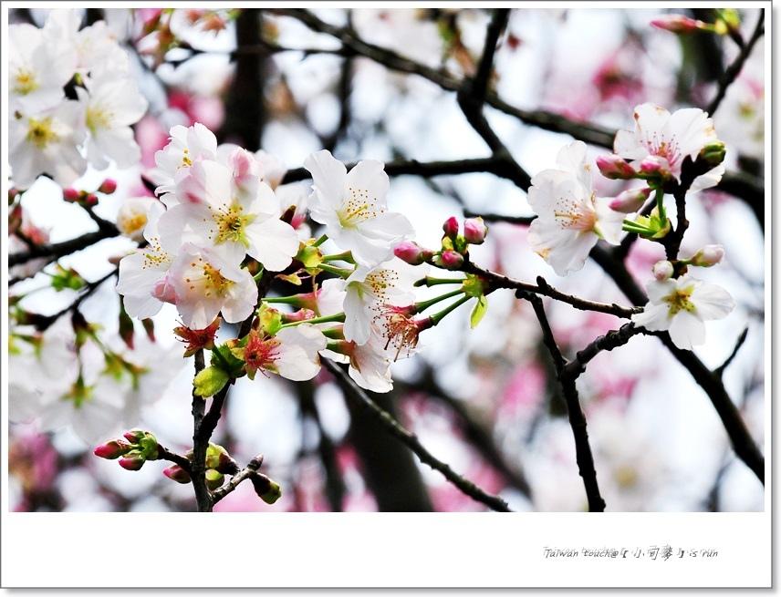 小司麥-陽明山花季  (12)