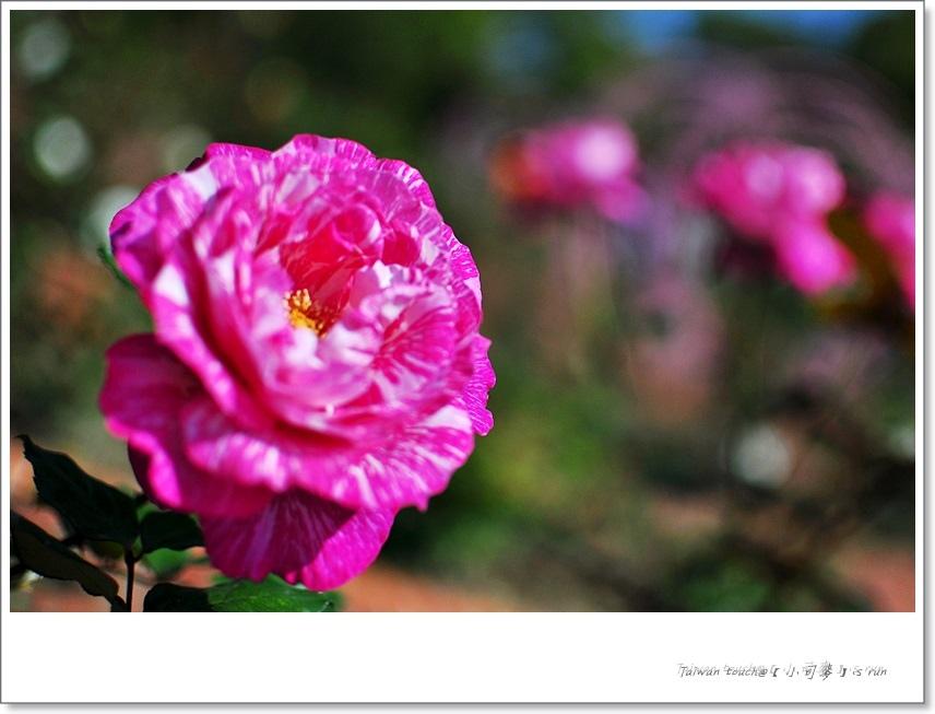 小司麥-蠟玫瑰 (30)