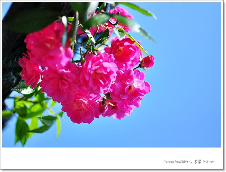 小司麥-蠟玫瑰 (35)