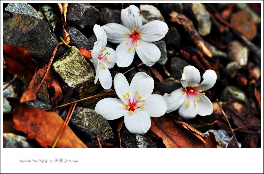 小司麥-桐花