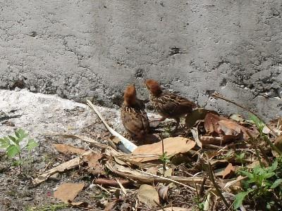 馬太鞍溼地-竹雞幼鳥