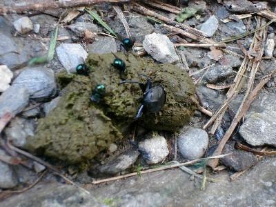 糞金龜與排遺
