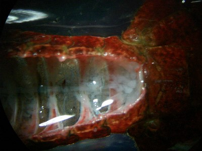 Crayfish central nerve.jpg